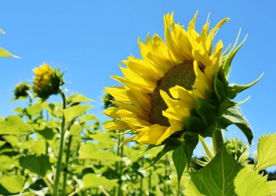sunflower-3514915__480[1].jpg