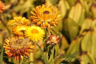 straw-flowers-1681331__480[1].jpg