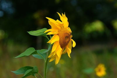 sunflower-3649116__480[1].jpg