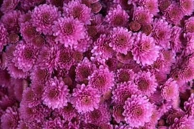 chrysanthemum-1013089_1280[1].jpg