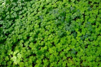 clover-2482056__480[1].jpg