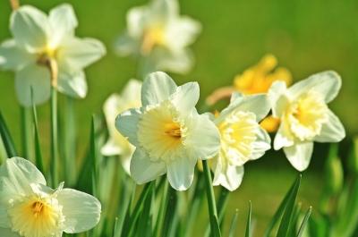 daffodil-733877__480[1].jpg
