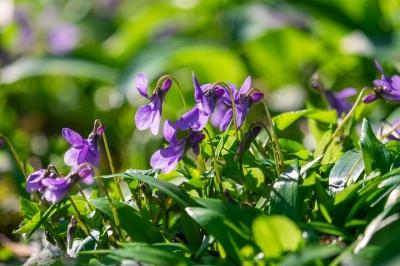 wald-violet-4789959__480[1].jpg