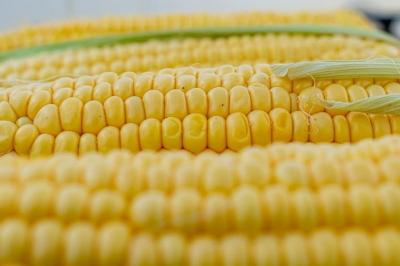 corn-5199393__480[1].jpg