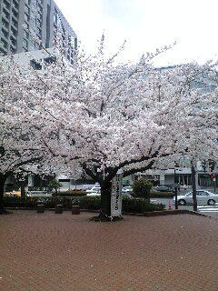 080328東京の桜.JPG