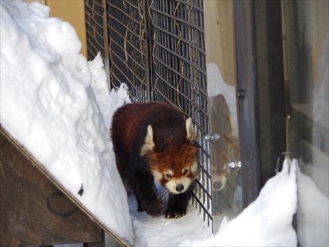 160130-24旭山動物園.JPG