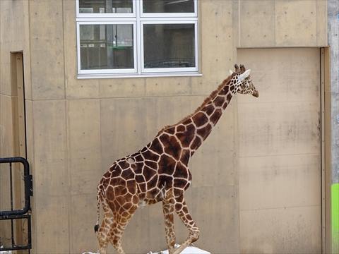 160312-10旭山動物園.jpg