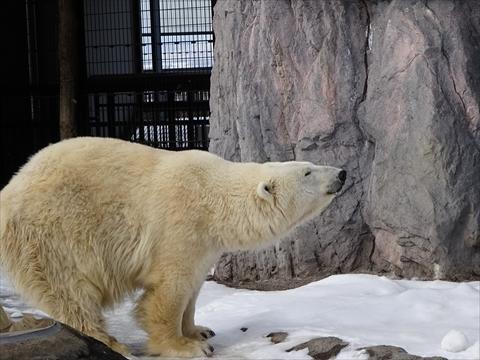 161126-15旭山動物園.jpg