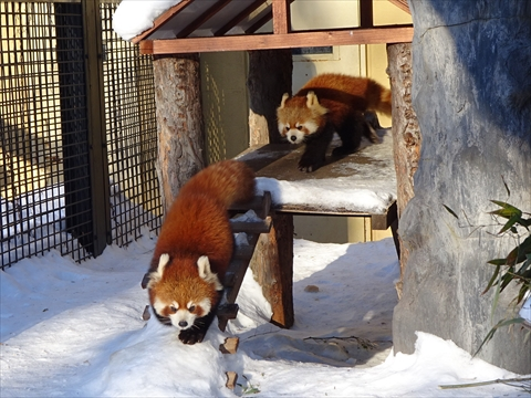 170121-14旭山動物園.jpg