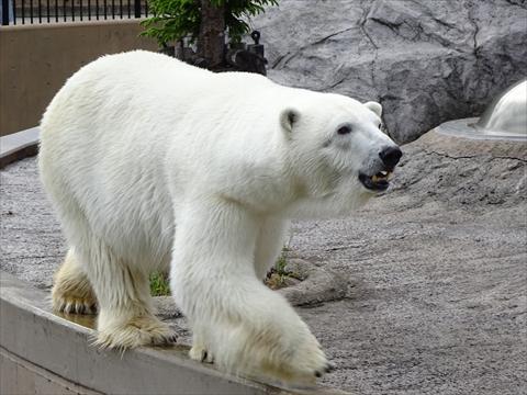 170611-28旭山動物園.jpg