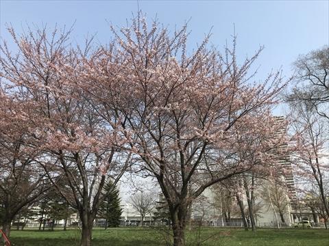 180429-2桜.jpg