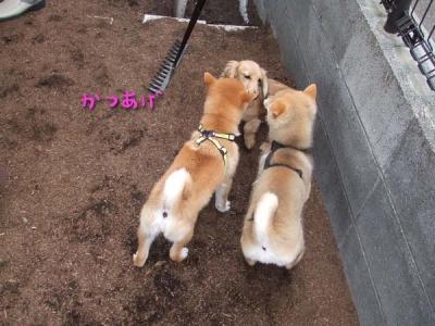 Mダックスを柴犬が囲む。