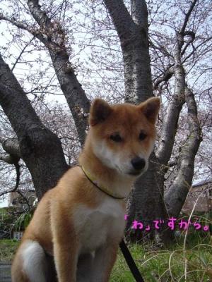 和犬は桜の木が似合う。