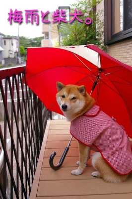 梅雨と柴犬。