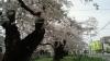 100505 桜1