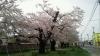 100505 桜2