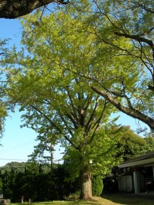 南九州市(旧川辺町)旧勝目小学校のイチョウ   NPO法人 縄文の森をつくろう会 公式ブログ
