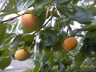日本(柿)