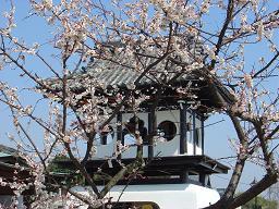 鐘楼堂前の梅の花が、とても綺麗に咲いています。