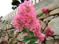 石垣の傍で、色鮮やかなピンク花を咲かせているサルスベリ。