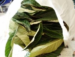 レジ袋いっぱいの枇杷の葉