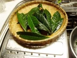 枇杷の葉をスポンジで洗う