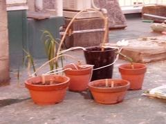 ドラセナ・コンシンネの挿し木
