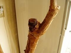 根腐れしたコンシンネの樹皮