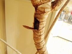 根ぐされしたコンシンネの幹