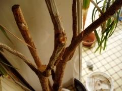 茎がシワシワなコンシンネ