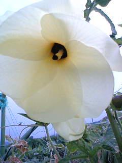 「花おくら」の花