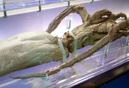ダイオウイカ「深海 ?挑戦の歩みと驚異の生きものたち?」国立科学博物館 特別展