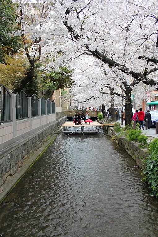 木屋町の高瀬川沿いの桜