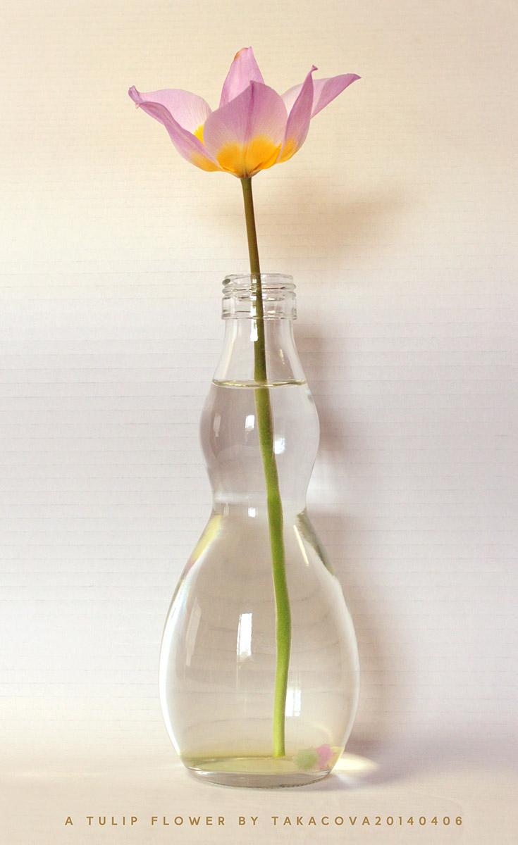 a tulip flower by takacova20140406