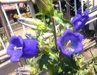 釣鐘草(ツリガネソウ)紫