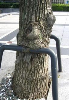 柵を喰う樫の木