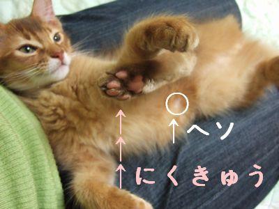 ソマリ 仔猫 レッド ブルーム