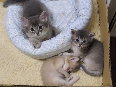 somali kitten blue fawn