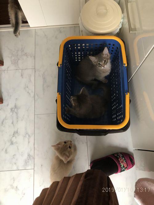 somali kitten