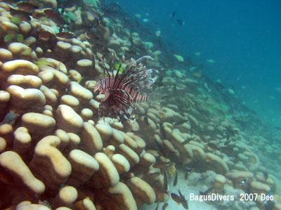 大仏サンゴの上を優雅に舞うミノカサゴ