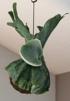 天井のスパーバム