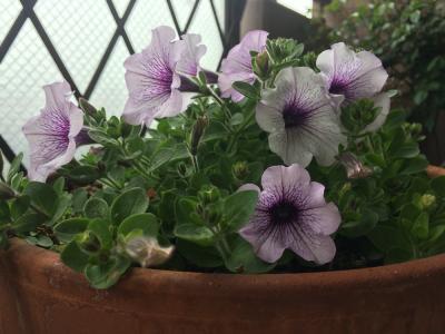 サフィニア花