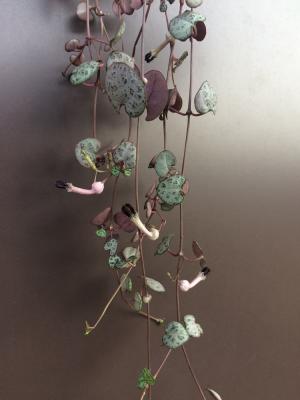 ハートカズラ 花