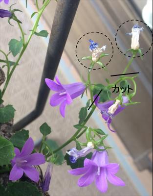 カンパニュラ・ベルフラワー 花がら