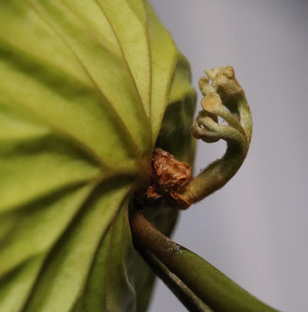 リドレイ 胞子葉