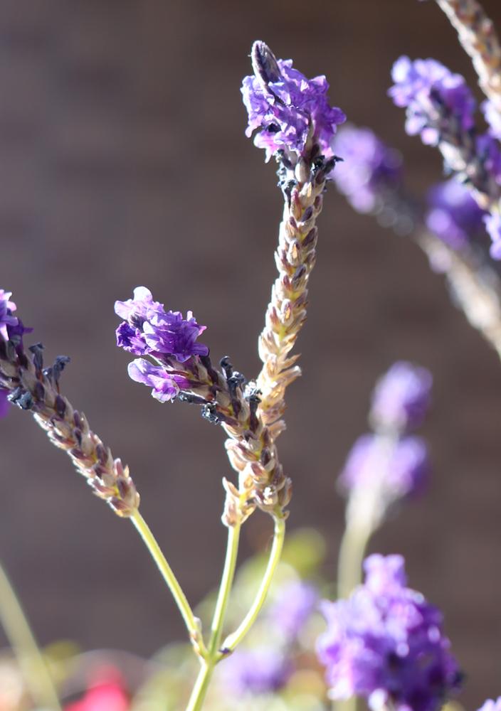 レースラベンダー 老い花