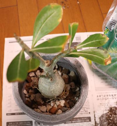 アデニウム 植え替え 固定