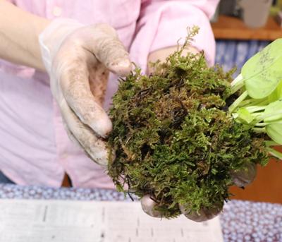 苔玉 苔をまく