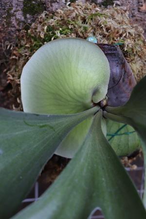 ビカクシダ アルシコルネ・マダガスカル 貯水葉の生長