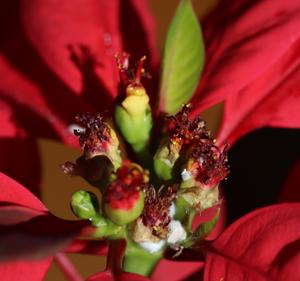 ポインセチア 花 カイガラムシ